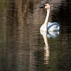 Trumpeter swan  Yukon Territory