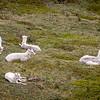 Dall sheep Denali  Park