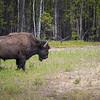 Wood bison just east of Watson Lake in British Columbia