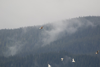 Juneau eagle flying