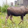 Alaska_CP_25June16_020
