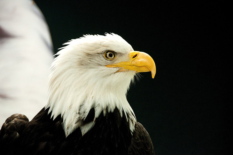 Bald Eagle, Raptor Center, Sitka, Alaska<br /> May 2011