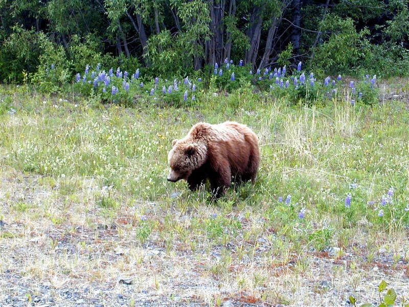 Just before the pass to Haines in BC we got up close and personal with Daddy Bear