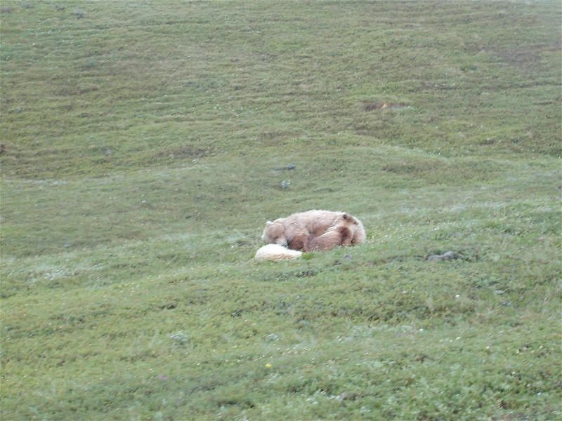 Same bears; no tree cover in the tundra Moose in the lake