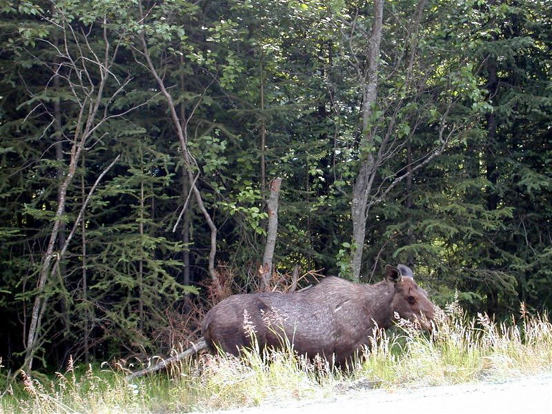 Moose in Kenia near Homer