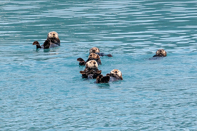 Sea Otters in Prince William Sound