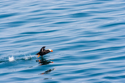 Tuffed Puffin taking off