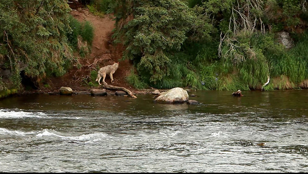 Short clip of a Wolf that came down to the rivers edge. He left quickly.