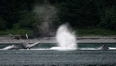 LOTTA whales at Pt. Aldophus!  4 in this shot, I think.