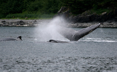 One of these whales in this pod made a sound much like a fog horn - very strange.