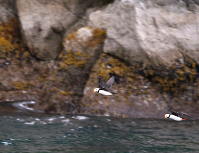Puffins.  Best I could do.  Little guys are difficult to photograph in flight!