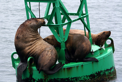 I think there are seals or sea lions on every buoy in Alaska.