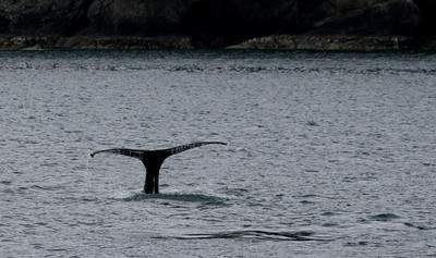 We also saw a few humpbacks, including one that breeched!