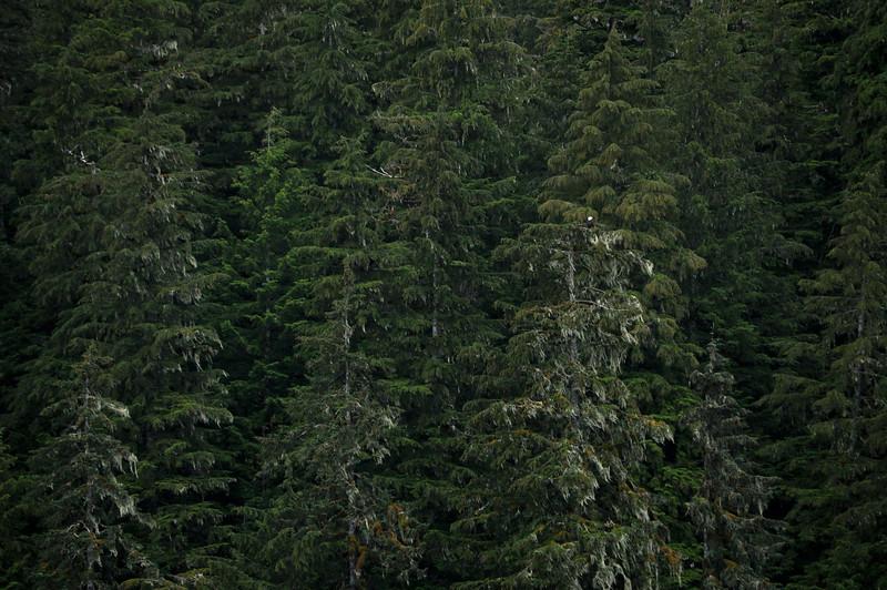 Find the Bald Eagle