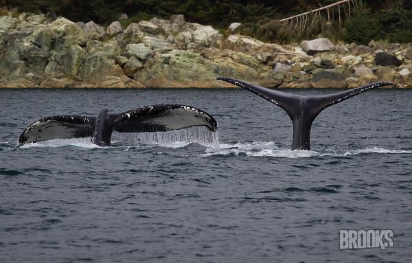 Double Whale Tails! Juneau, Alaska