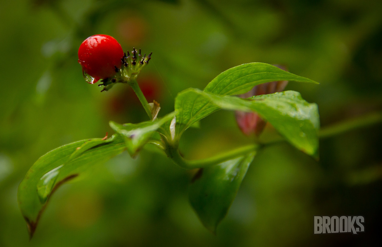 berry in the rainforest, Sitka, Alaska