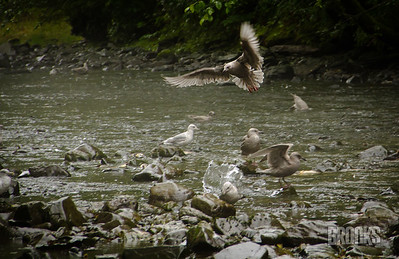 Seagulls feeding on salmon, Sitka Alaska