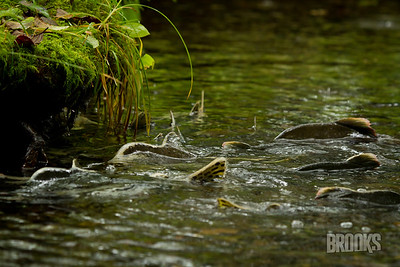 Salmon swimming upstream - Sitka, Alaska
