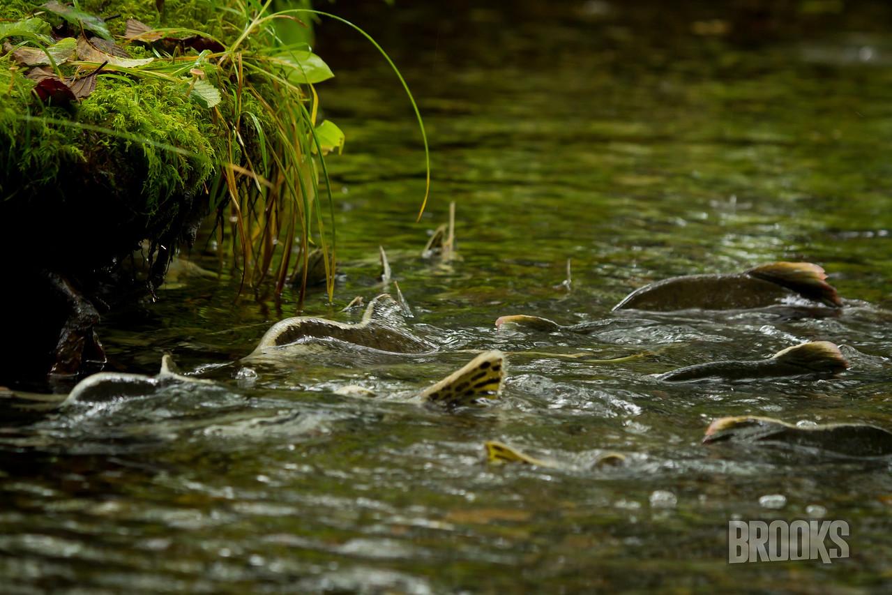 Salmon swimming upstream - Sitka, Alaska