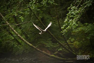 Seagull flying through rainforest, Sitka, Alaska