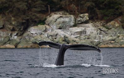Humpback Whale Tail - Juneau, Alaska