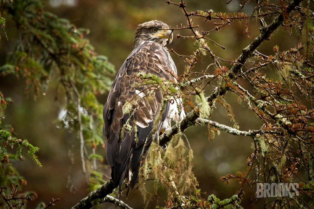 Juvenile Bald Eagle in a tree.  Sitka, Alaska
