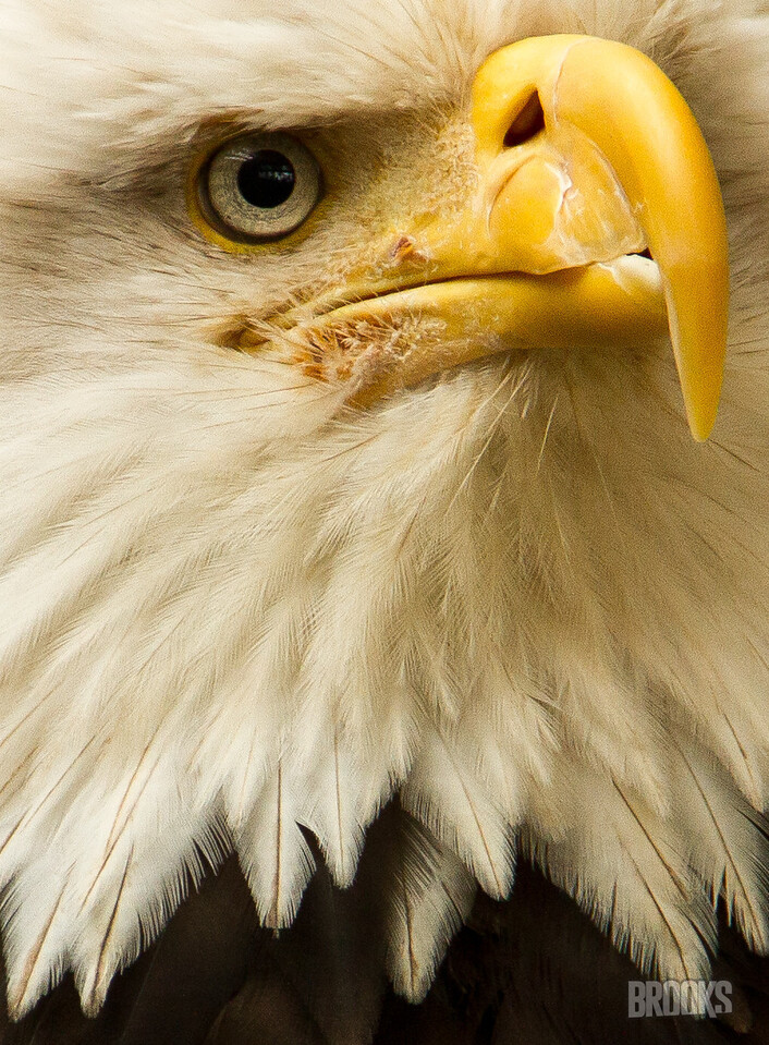 Bald Eagle, up close and personal