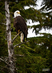 Bald Eagle in a tree, Juneau, Alaska