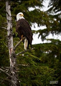 Bald Eagle in a tree, Juneau, Alaska