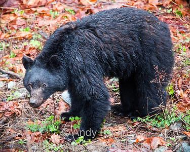 Black bear, Vancouver Island