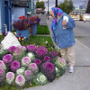 <h2>Decorative cabbage in Fairbanks</h2>