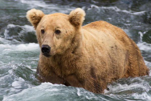 This young bear was never allowed at any of the best spots by the older bears.