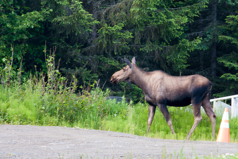 We saw this moose in the parking lot before boarding our float plane. She had a calf, but they were scared off before I could get a photo.
