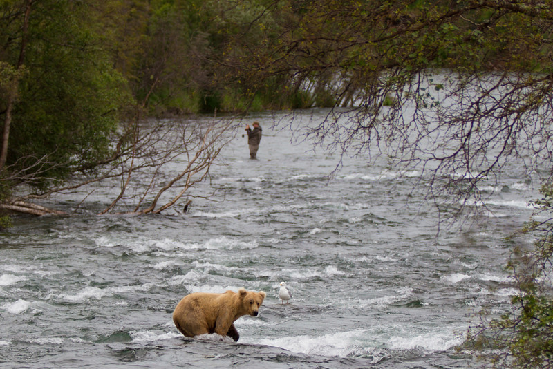 Bear and fisherman sharing the stream.