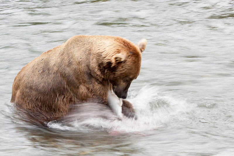 Caught another salmon! While we were there, this bear caught three, and everyone else stayed hungry.