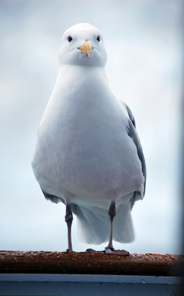 This bird was flying around the cruise ship, and decided to land on our balcony.  Of course I had the door open.  We were not allowed to fee them though.  Because if they were fed by tourists, come time when tourists not there they would starve.  Beautiful white bird.