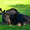 Moose - they were in a Sanctuary to help animals recover.