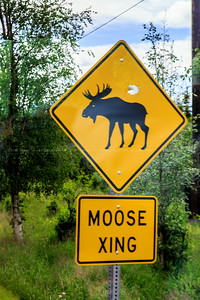 My first moose sighting ... complete with bullet hole