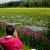 Photographing fire weed at Potter Marsh south of Anchorage