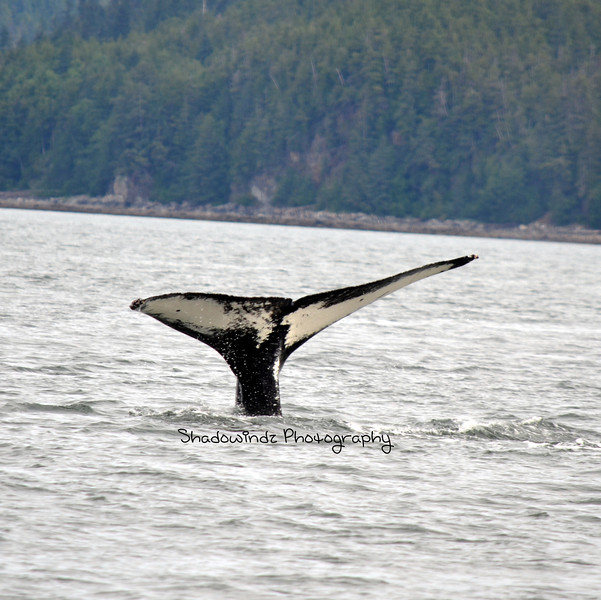 This is a close up of my original photo of the whale diving.