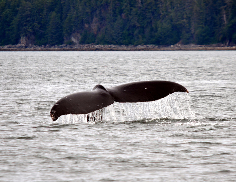This is another cropped from my original to show the whale diving.  I love this one with the water draining off the tail.