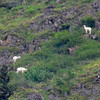 Doll sheep on the way to Seward