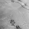 During a hike into a glacial moraine in DNP we came across these fairly fresh wolf tracks in the mud.  Mateo thought they were no more than a day old.  Very cool.