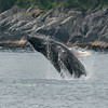 Young humpback whale having some fun.  Kenai Fjords Nat'l Park.