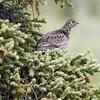 Spruce Grouse, Denali Nat'l Park (DNP)