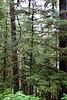 Sitka Spruce and Western Hemlock