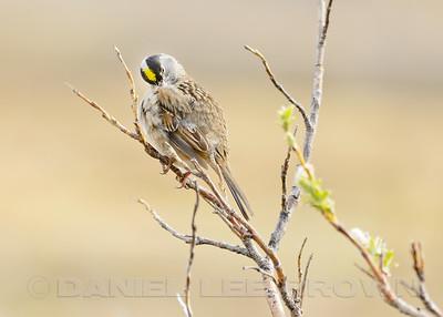 Golden-crowned Sparrow, Teller Rd, Nome Alaska, 6-14-14. Cropped image.
