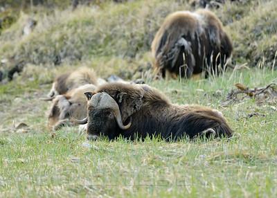 Musk Ox, Nome Alaska, 6-13-14. Cropped image.