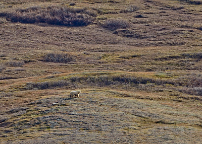 Grizzly Bear, Kougarok Rd. Nome Alaska, 6-12-14. Cropped image.