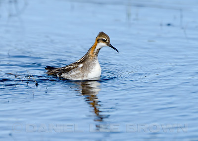 Male Red-necked Phalarope, Nome Alaska, 6-11-14. Cropped image.